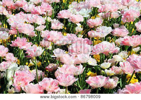 Pink double tulips