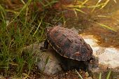 picture of terrapin turtle  - Malayan snail - JPG