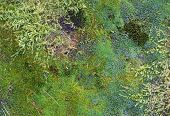picture of species  - Dense moss layer with species of different shapes and colors seen from above - JPG