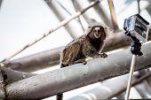 foto of marmosets  - Common marmoset or White - JPG