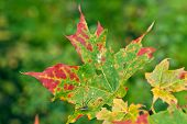 Постер, плакат: Strong and colorful maple leaves on a twig
