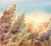 foto of bulrushes  - Reed in the quiet evening on a sunset - JPG