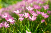 image of lily  - Pink Zephyranthes Lily Rain Lily Fairy Lily and Little Witches in the garden - JPG