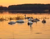 Постер, плакат: Swan On Sunset Lake