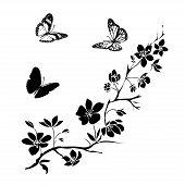 foto of sakura  - twig sakura blossoms and butterflies - JPG