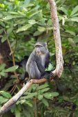 foto of bamboo forest  - A blue diademed monkey Cercopithecus mitis on a branch in Lake Manyara National Park Tanzania - JPG