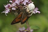 picture of gatekeeper  - White Crab Spider with Gatekeeper Butterfly Prey - JPG