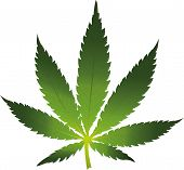 picture of marijuana leaf  - Vector cannabis leaf on white background - JPG