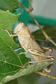 image of locust  - Locusts sits on the grape leaf and eats it - JPG