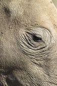 foto of rhino  - Rhino head eye closeup wildlife animal in wilderness park reserve - JPG