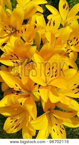 Beautiful Yellow Lily