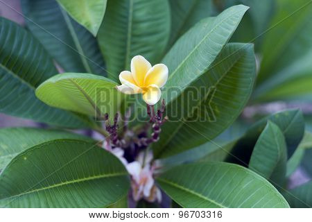 Frangipanis Or Plumeria In A Natural Environment, Including Leaves.