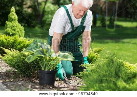Elder Man Working In Garden