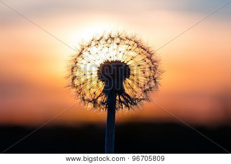 Dandelion Flower With Sunset