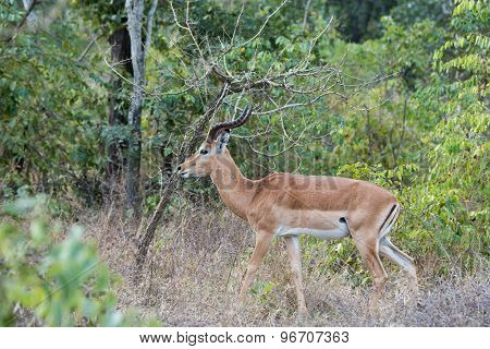 A Male Impala (aepyceros Melampus) In Wooded Surroundings