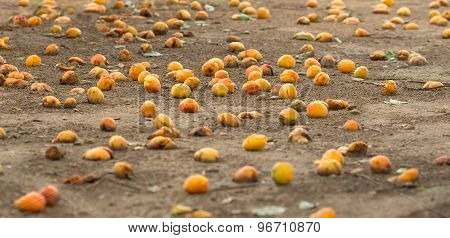 many ripe apricots fell from the tree and lying on the ground