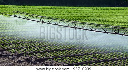 Automatic Irrigation System In The Field Of Green Lettuce