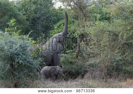 A Mother African Elephant Reaching For Leaves While Baby Plays Nearby