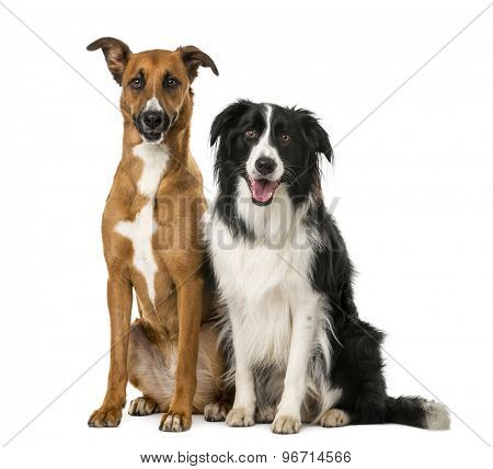 Crossbreed and Border Collie sitting in front of a white background