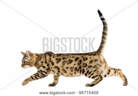 Bengal walking in front of a white background