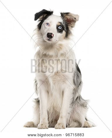 Border Collie sitting with heterochromia in front of a white background