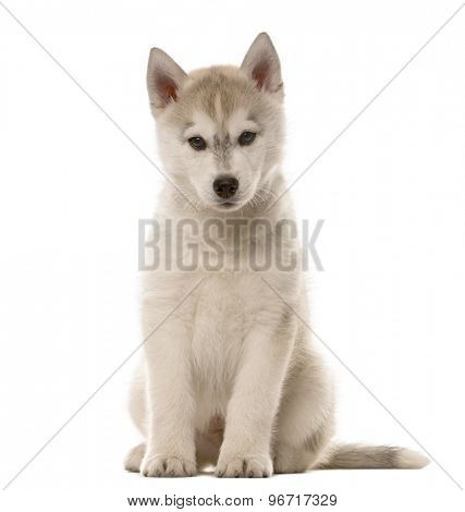 Husky puppy sitting in front of a white background