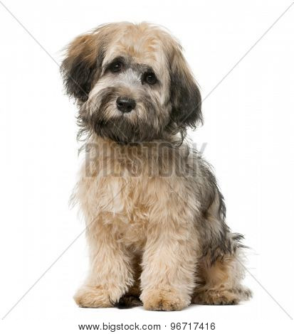 Havanese sitting in front of a white background