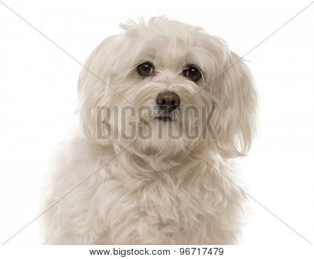 Close-up of a Havanese in front of a white background