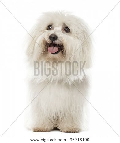 Maltese sitting in front of a white background