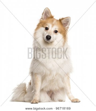 Spitz sitting in front of a white background