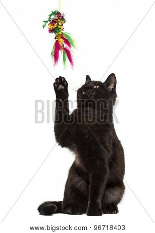 Black cat playing in front of a white background
