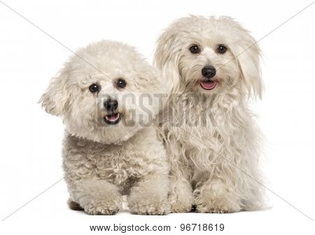 Two Malteses sitting in front of a white background