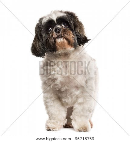 Shih Tzu standing in front of a white background