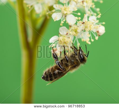 Honey bee foraging in front of a green background