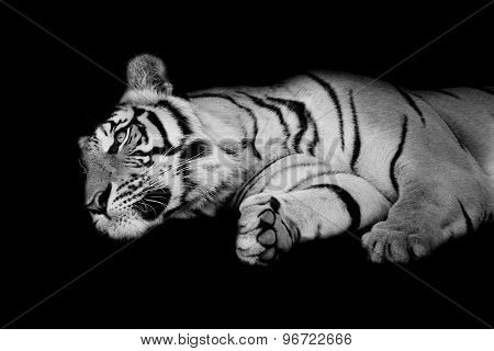 Black & White Tiger Sleep On One's Side Isolated On Black Background