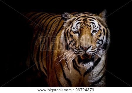 Close Up Tiger Growl - Isolated On Black Background