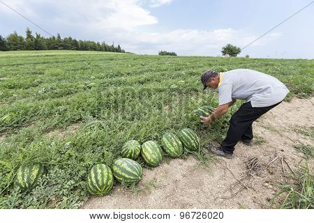Farmers Harvesting Watermelons From The Field