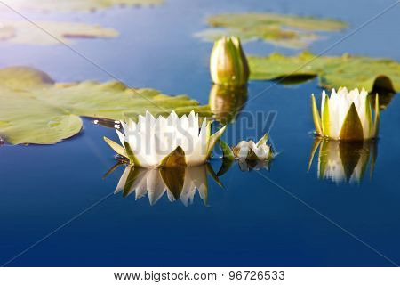 White Lilies Blooming In The Pond