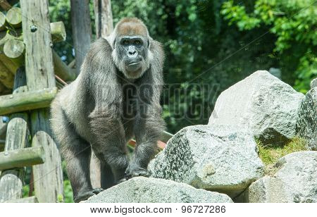 An isolated Western Lowland Gorilla on a rock