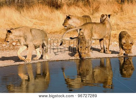 A pride of lions drinking from a waterhole in Etosha