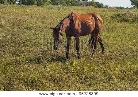 A Beautiful Brown Horse Grazes In A Green Grass