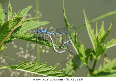 Mating Dragonflies Sitting In The Grass Near A Pond