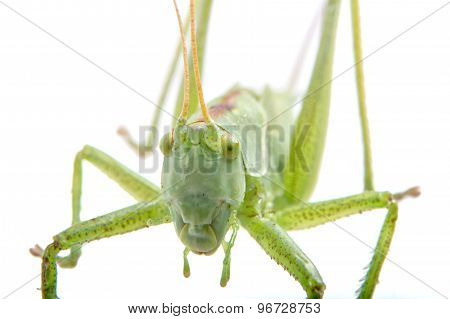 Close-coming Green Grasshopper On A White Background