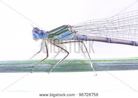 Blue Dragonfly Sitting On A Strw On A White Background