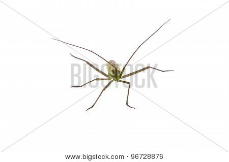Insect With Long Antennae On A White Background
