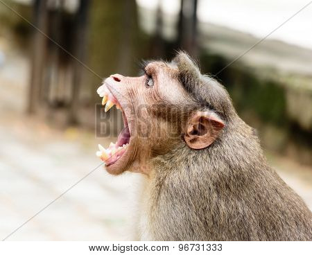 Funny Expression ~ A monkey yawning with its mouth wide open