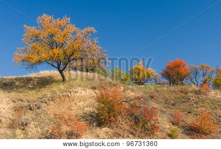 Wild apricot trees on a hill