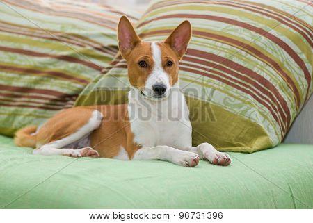 Royal basenji lying on the sofa