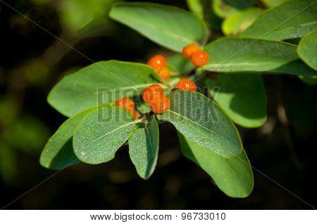 Orange Berries On A Green Bush Coffee