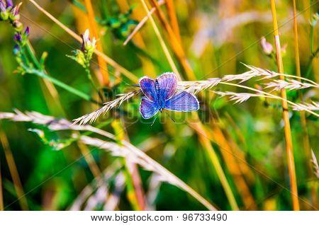 Dwelleth Between Blue Butterfly